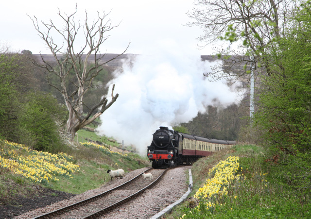 Ian Riley's Class 5 45407 working the 11am Whitby to Battersby service on May 11th approaches the attractive station of Commondale with the cutting covered in daffodils and lambs crossing the line. The lamb survived! - Maurice Burns