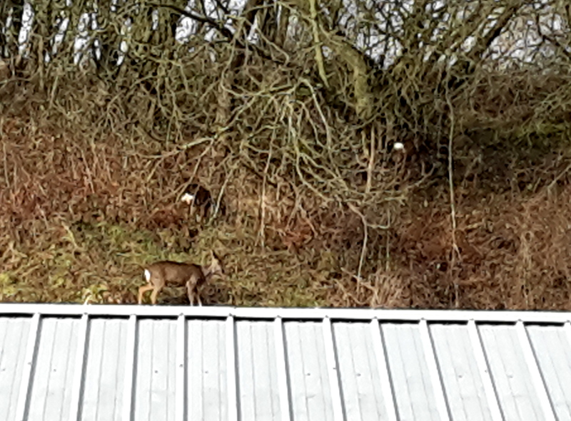 Three roe deer grase the bank above Armstrong Oilers - Nigel Hall
